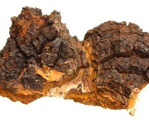 chaga - arboreal mushrooms growing on birch trunk